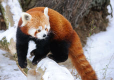 Red panda. Baby in winter stock images