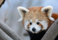 Red panda baby Royalty Free Stock Photography