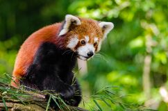 Red Panda Bamboo Dinner Royalty Free Stock Photo