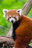 Red Panda Bamboo Dinner Stock Photography