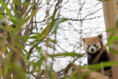 Red panda in a bamboo forest Royalty Free Stock Photo