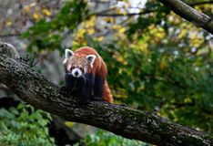 Red panda bear Royalty Free Stock Photos