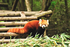 red panda bear Stock Photography