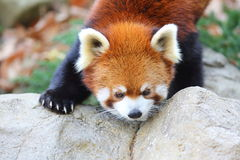 Red panda bear Stock Images