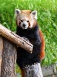 Red panda bear Royalty Free Stock Image
