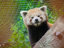 Red Panda Bear Behind Tree Stock Images