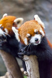 Red panda bear Royalty Free Stock Images
