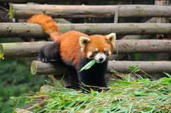 Red panda bear eating bamboo leaves Royalty Free Stock Images