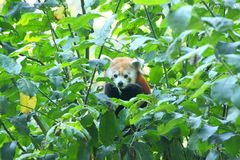 Red panda bear in the green tree Royalty Free Stock Image