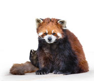 Red panda bear Royalty Free Stock Image