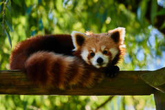 Red Panda bear Sichuan China Royalty Free Stock Photography