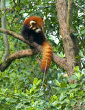 Red panda bear in tree Stock Photography
