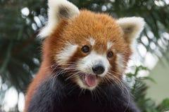 Red panda bear on tree. Cute Red panda bear playing on a tree trunk stock photo