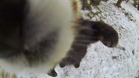 Red panda bear walks on a snow stock video