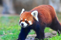 Red panda bear Stock Photo