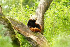 Red panda bear at zoo of Zurich Stock Photo