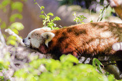 Red Panda. A beautiful red panda lying on a tree branch sleeping stretched out with its legs hanging dangling down. The red cat bear has a white mask and red Stock Photography
