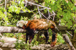 Red Panda. A beautiful red panda lying on a tree branch sleeping stretched out with its legs hanging dangling down. The red cat bear has a white mask and red Stock Photos