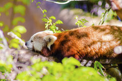 Red Panda. A beautiful red panda lying on a tree branch sleeping stretched out with its legs hanging dangling down. The red cat bear has a white mask and red Royalty Free Stock Photos