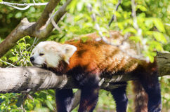 Red Panda. A beautiful red panda lying on a tree branch sleeping stretched out with its legs hanging dangling down. The red cat bear has a white mask and red Royalty Free Stock Image