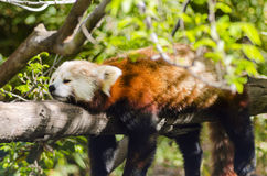 Red Panda. A beautiful red panda lying on a tree branch sleeping stretched out with its legs hanging dangling down. The red cat bear has a white mask and red Stock Photo