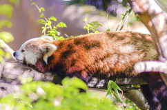 Red Panda. A beautiful red panda lying on a tree branch sleeping strethced out with its legs hanging dangling down. The red cat bear has a white mask and red Royalty Free Stock Photos