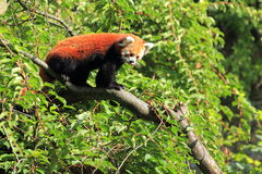 Red panda. The red panda on the branch Royalty Free Stock Photography