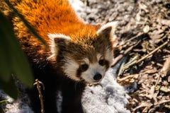 Red Panda. Bronx Zoo 2014 Royalty Free Stock Image
