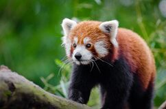 Red Panda on Brown Wood Royalty Free Stock Photos