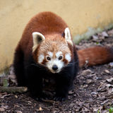 Red Panda in Captivity Royalty Free Stock Photography