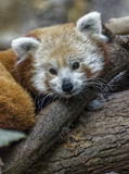 Red Panda. A red panda in captivity royalty free stock photography