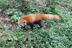 Red Panda , Chengdu China Royalty Free Stock Photos