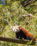 Red panda climbing tree. Vertical pic a red panda climning  a tree Stock Images