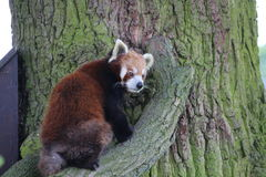 Red Panda. A red panda climbing a tree Stock Photo