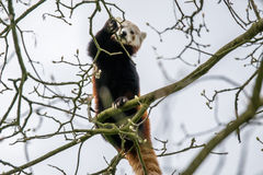 Red panda climbing in a tree Royalty Free Stock Photography