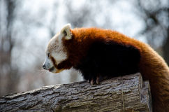 Red panda climbing tree Stock Photo