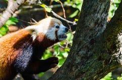 Red panda climbing tree. Small red panda climbing tree at zoo Royalty Free Stock Images