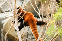 Red panda climbing on tree Royalty Free Stock Photo