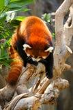 Red panda climbing on tree Stock Photo