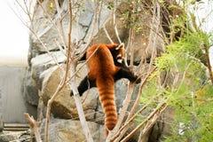 Red panda climbing on tree Stock Images