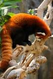 Red panda climbing on tree Royalty Free Stock Photography