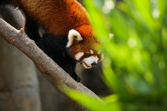 Red panda climbing on tree Stock Photography