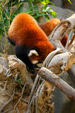 Red panda climbing on tree Royalty Free Stock Images