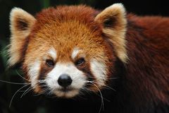 Red panda close up Royalty Free Stock Photos