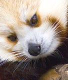 Red Panda Close-up. Red panda's face captured close-up Royalty Free Stock Photos