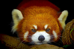 Red panda Stock Photos