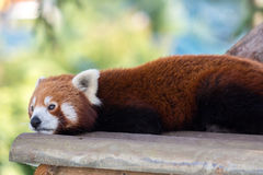 Red panda close up. Head shot resting on a wooden board Stock Image