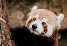 Red Panda close up portrait Stock Photo