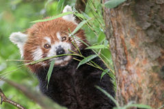 Red Panda close up portrait royalty free stock photography