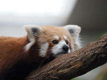 Red Panda - Closeup. Red Pandas are also known as Lesser Panda and Red Cat-bear, a small arboreal mammal found in the eastern Himalayas and south-western China Royalty Free Stock Photography